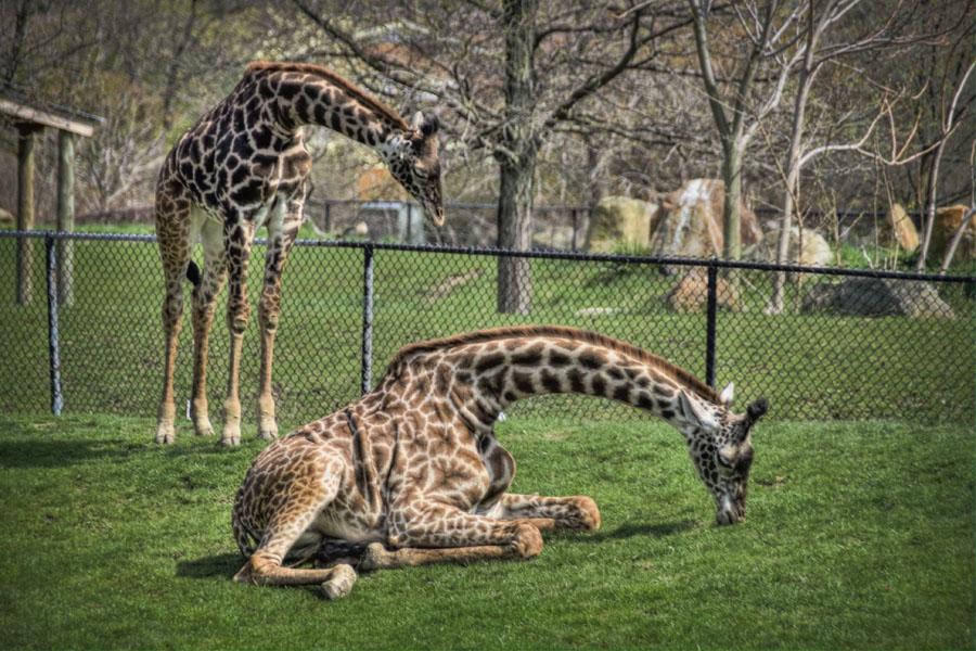 giraffe cleveland metroparks zoo